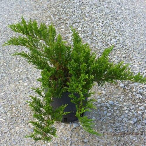 Juniperus Tamariscifolia