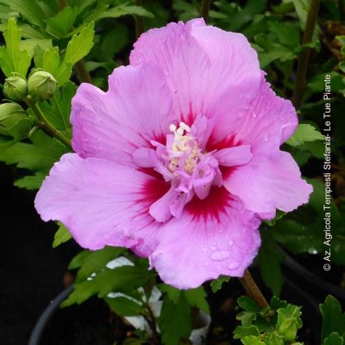 Hibiscus Syriacus Eruption