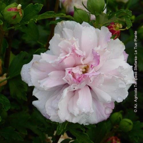 Hibiscus Syriacus French Cabaret® Pastel