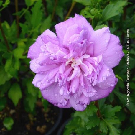 Hibiscus Syriacus French Cabaret Purple