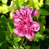 Hibiscus Syriacus French Cabaret Red