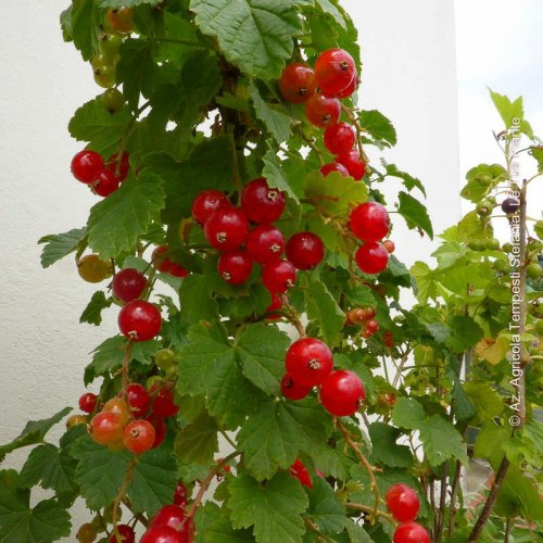 Ribes Rosso 'Junifer'