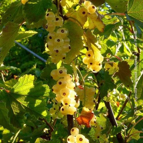 Ribes Bianco 'Blanka'