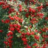 pyracantha ventoux red