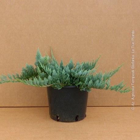 Juniperus Blue Chip