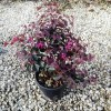 Loropetalum Chinense Fede