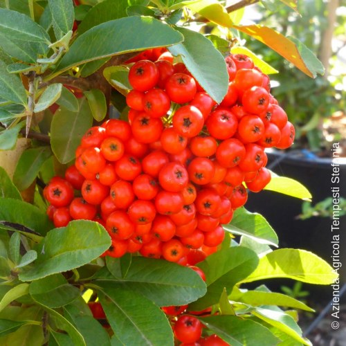 Pyracantha Rosso