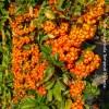 Pyracantha arancione