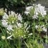 Agapanthus Bianco
