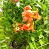 Bignonia campsis radicans