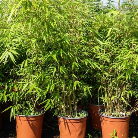 Fargesia Bambù