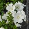 Hibiscus Syriacus Eleonore