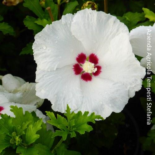 Hibiscus Sup'Heart