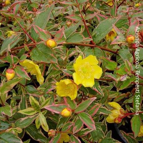 Hypericum Moserianum Tricolor
