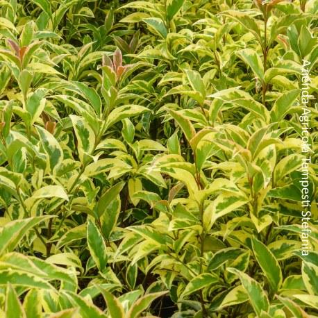 Ligustro variegato