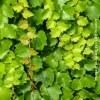 Parthenocissus Tricuspidata Weitchii