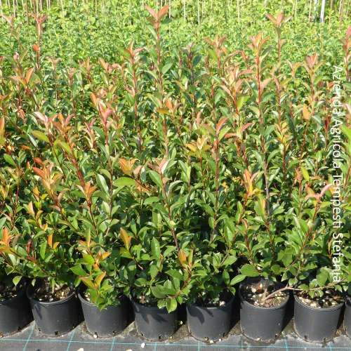 Photinia Compacta Carrè Rouge