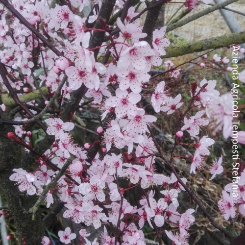 Prunus Cerasifera Pissardi