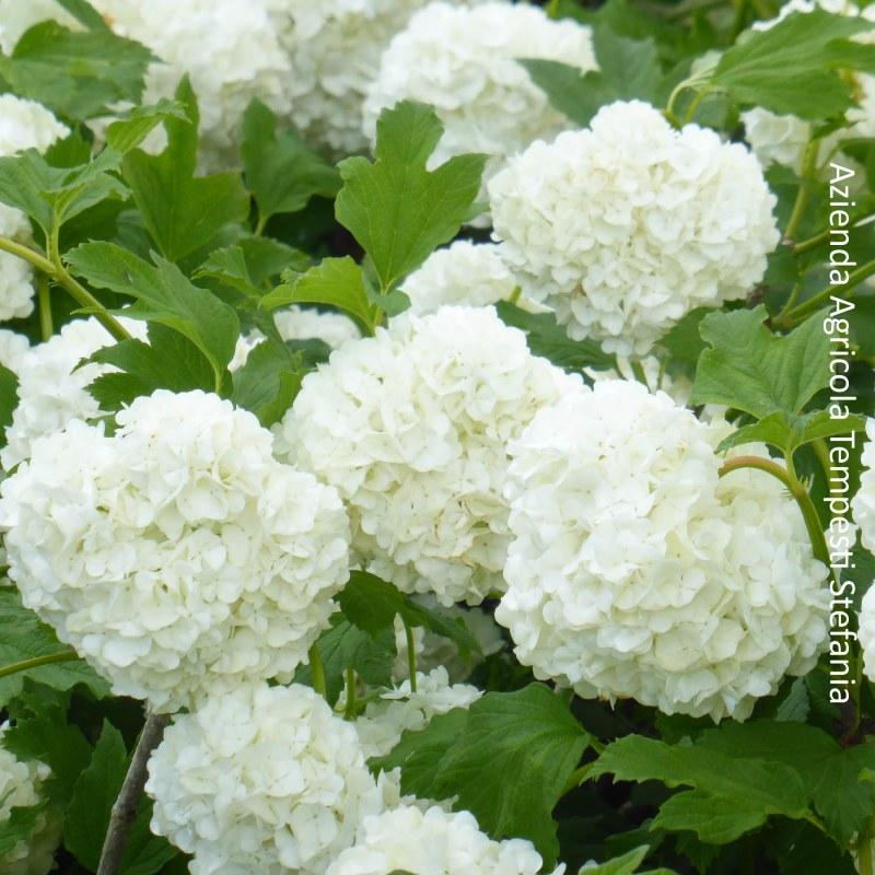 Fiori A Palla Bianchi.Viburnum Opulus Roseum Vendita Piante Online Letuepiante