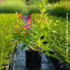 Weigelia All Summer Red