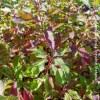 cornus alba baton rouge