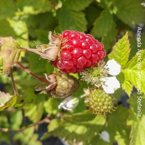 Mora 'Tayberry'