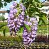Glicine 'Frutescens'