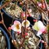 Chaenomeles Floccon Rose