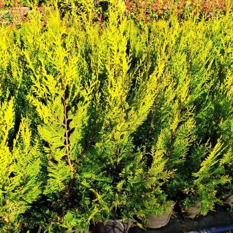 cupressocyparis leylandii castlewellan gold
