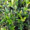 Phyllirea angustifolia