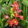 Chaenomeles Speciosa Crimson and Gold