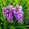 Glicine Longwood Purple