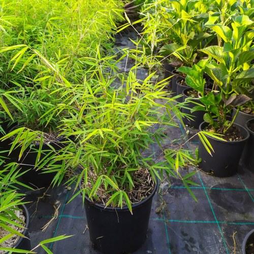 Bambu Fargesia Angustissima