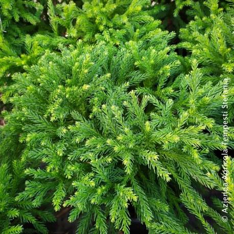 Cryptomeria japonica Globosa Nana