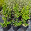 Cupressocyparis leylandii