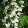 Glicine 'Longissima Alba'