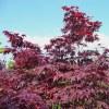 Acero Palmatum Rosso