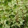 1 Cornus Alba Elegantissima