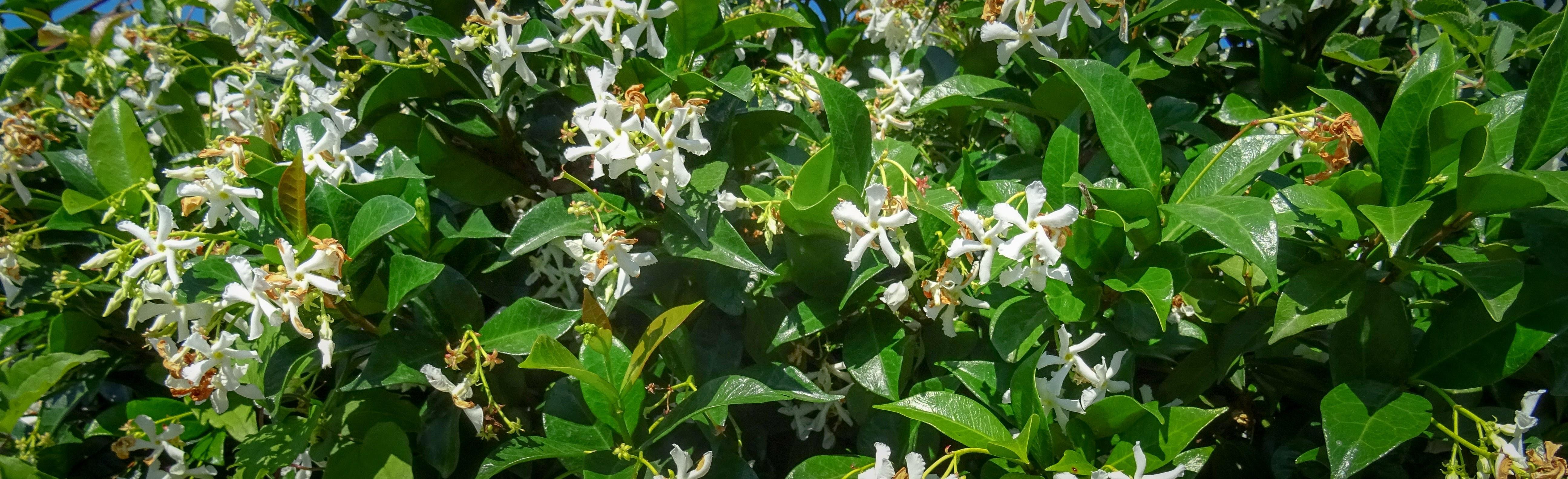 Gelsomino Rampicante per siepi fiorite